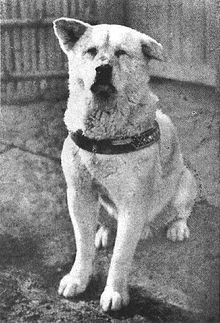 A photo of Hachi in his later years. From Wikipedia.