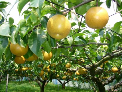 "Nashi, ""Pear-Tree"". Picture taken by Katorisi. From Wikipedia."