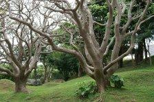 Deigo (Erythrina variegata). Photo taken by E-190. From Wikipedia.