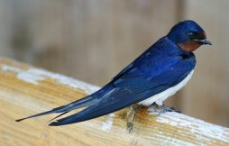 """Tsubame, """"Barn Swallow"""". Taken by Malene Thyssen. From Wikipedia."""