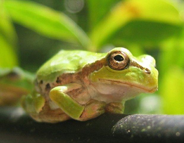 "Nihon Amagaeru, ""Japanese Tree frog"". Photo taken by Σ64. From Wikipedia."