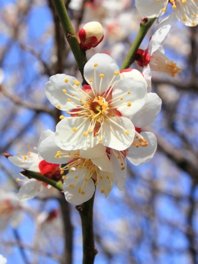 "Ume (flower), ""white ume"". Photo taken by Kakidai. From Wikipedia."